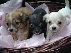 Chihuahua fofinhos