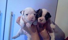Bulldog francês fofinhos