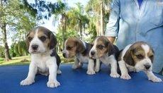 Beagle graciosos e fofos