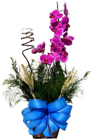 Floricultura MG presente Vaso de orquídea PHALAENOPSIS em MG